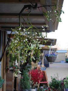 Mistletoe4