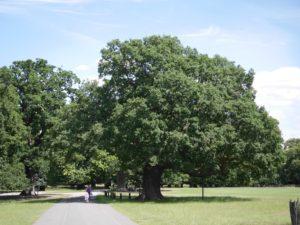 old tree3