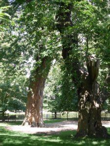 old tree5