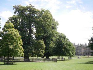 old tree6